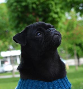 Otello. Der Hunde-Pullover Model Toni