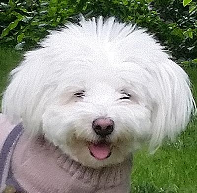 Otello. Hunde-Model Vladimir