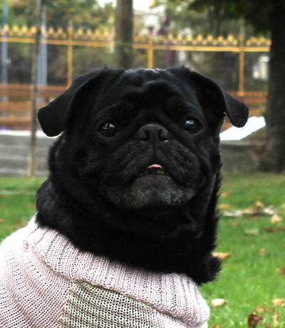 otello-pug-coat